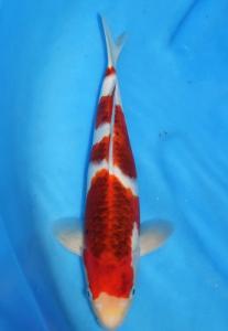 055-Fiqri-Kudus-Twin Koi-Garut-Koromo-35 cm